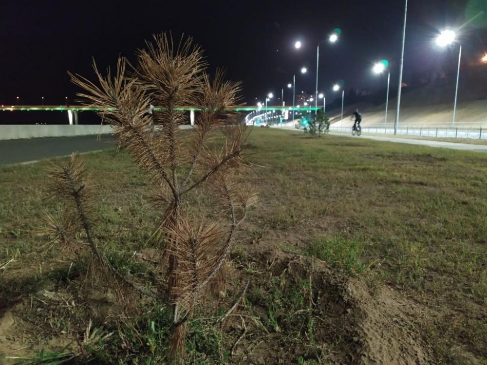 Кладбище крымских сосен у рокадной дороги в Волгограде в мэрии объяснили неудачным экспериментом
