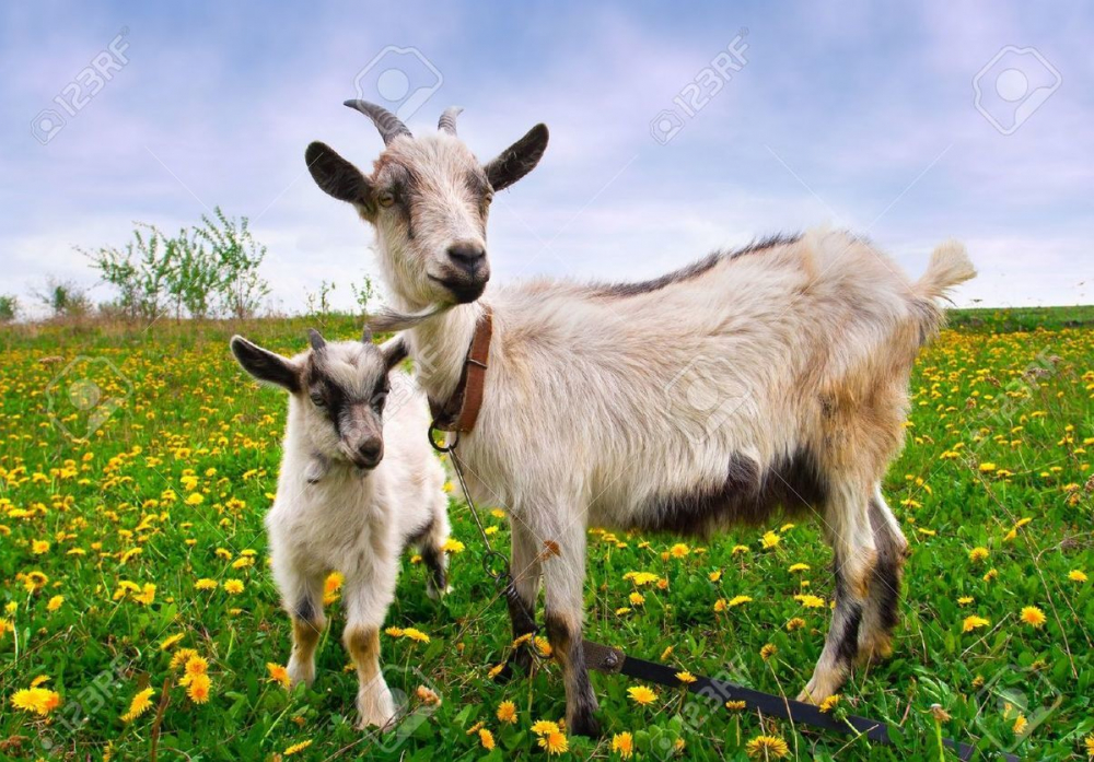Ленивая ветеринар идет под суд за 900 беззащитных коз и коров в Волгоградской области