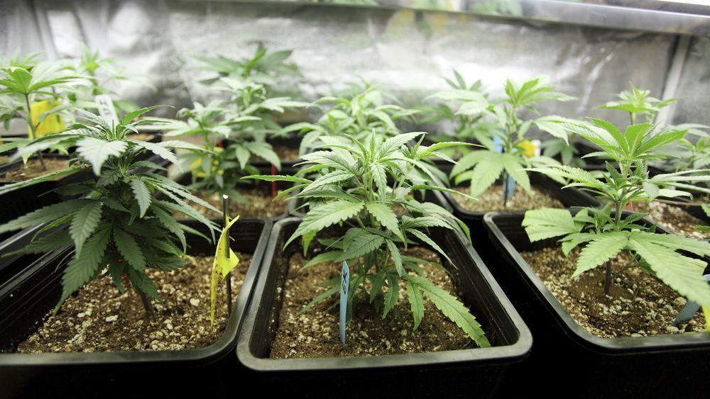 Закон о выращивание конопли рф марихуана фильмы bbc