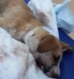 Щенку с огнестрельным ранением в челюсть отказались помогать в Волгограде, предложив усыпить