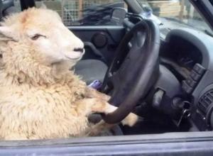 Renault Duster  пострадал от нашествия овец под Волгоградом: пастух выплатит 87 тысяч рублей