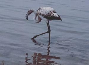В Волгоградской области всем селом спасают отбившегося от стаи фламинго