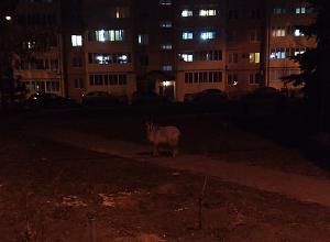 Одинокий козел слоняется по улицам Волгограда