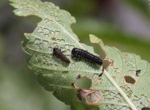 Ильмовый листоед пожирает растительность Волгограда
