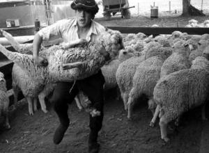 Под Волгоградом задержана «пятерка», груженная тушами 12 украденных и убитых овец