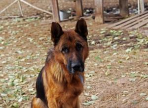 Волонтеры Волгограда спасли от смерти породистого пса из Карачаево-Черкесии