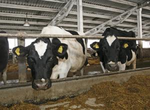 Коровы, козы и овцы плодятся в Волгоградской области