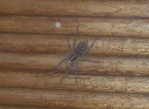 Больно кусающийся паук фаланга заполз в дом жителя Волгограда