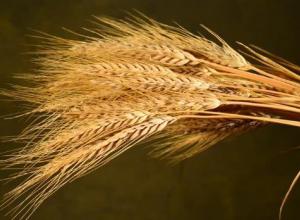 На полях Волгоградской области не успевает вызревать урожай