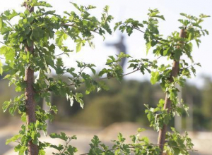 Единственное дерево парка сталинградских вдов на Мамаевом кургане покрылось листвой