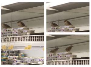 Упитанный волгоградский воробей сделал из гипермаркета «трогательный зоопарк»
