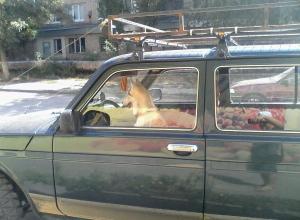 Волгоградцы сфотографировали собаку за рулем внедорожника