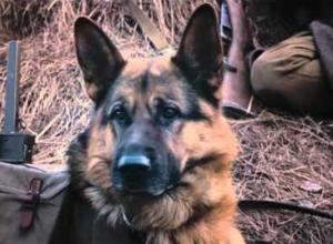 Жители Волгограда первыми в России посмотрели фильм о собаках-минерах «Пес рыжий»