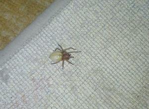 Ядовитый хищный паук сак перебрался на дачи волгоградцев