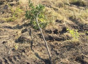 В Волгограде умирает последнее дерево парка вдов на Мамаевом кургане