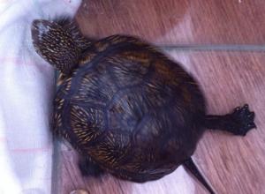 Черепаху оставили умирать под дверьми поликлиники в центре Волгограда