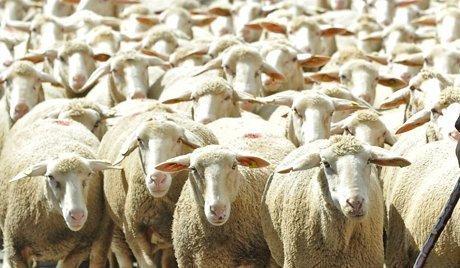 Под Волгоградом мужчины украли у фермера отару овец