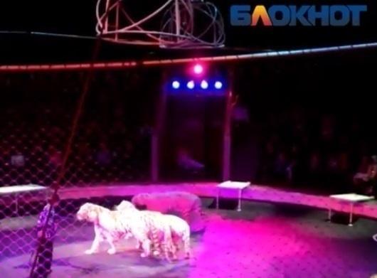Белый тигр покусал нетрезвого сотрудника Волгоградского цирка
