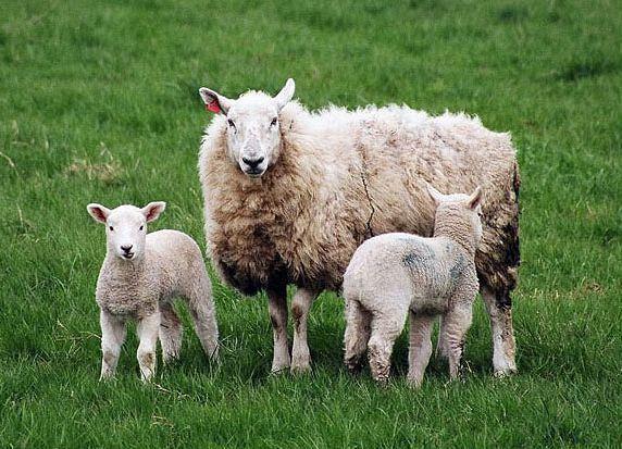 Мужчина скончался в окружении овец под Волгоградом