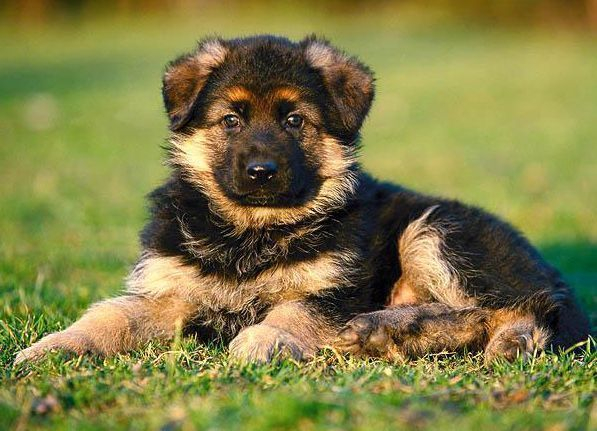 Четырёх упитанных щенков немецкой овчарки за 140 тысяч рублей покупает волгоградская колония