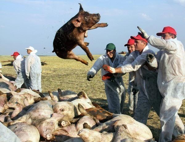 В Волгоградской области введен запрет на торговлю свининой на рынках