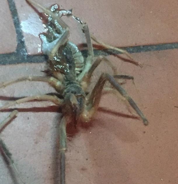 Ядовитые пауки фаланги атакуют квартиры волгоградцев