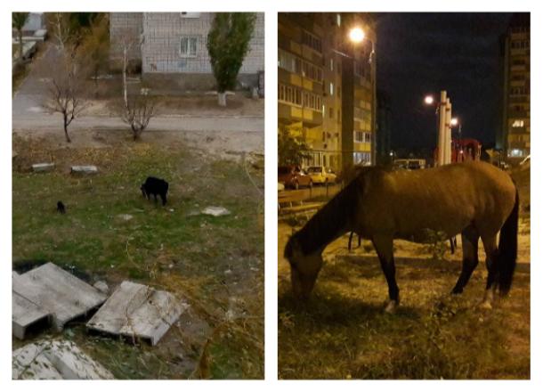 Лошадь и огромный бык разгуливают по обычным дворам Волгограда