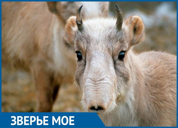 Удивительные антилопы с хоботом: как Волгоградская область лишилась чуда природы