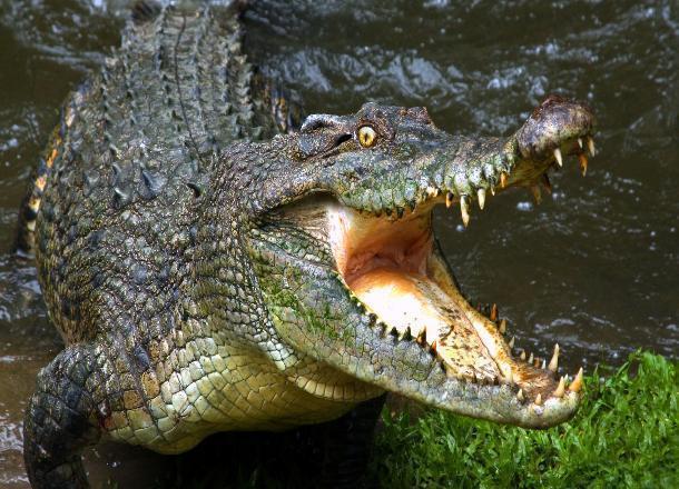 Ростов-на-Дону вошел втройку русских городов, где больше всего покупают крокодилов