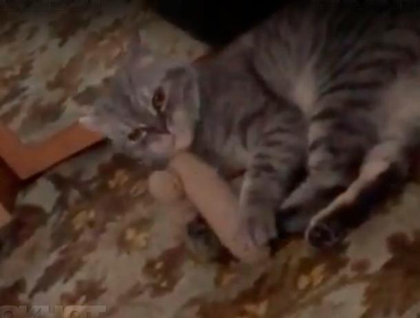 Волжскому коту пришелся по вкусу  игрушечный  накладной орган мужчины из Америки