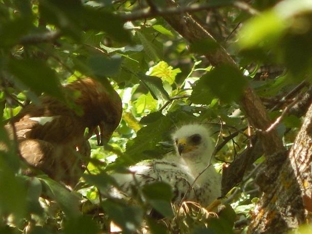 Краснокнижный орел-карлик обзавелся семьей в Волгоградской области