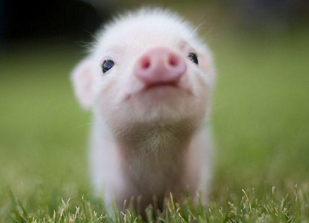 Полуфабрикаты со смертельно опасной свининой неизвестного вида выставили на продажу в Волгоградской области