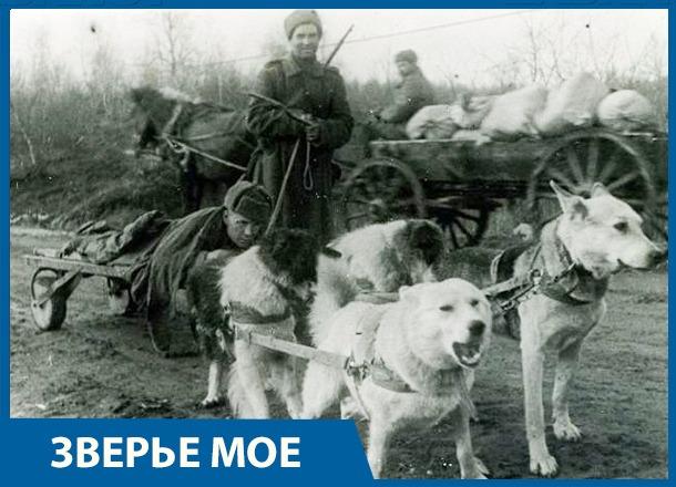 Собачье сердце: домашние животные на защите Сталинграда