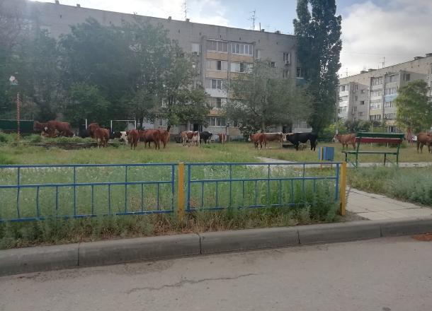 33 коровы: стадо заметили прямо во дворе многоэтажек Волгограда