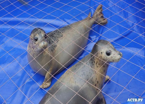Сахалинские тюлени Кира иКатя переселяются вВолгоград