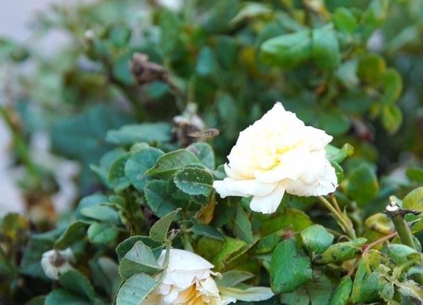 Большой праздник роз прошел в рамках акции «Зеленая волна» в парке Аттракционов Волгограда