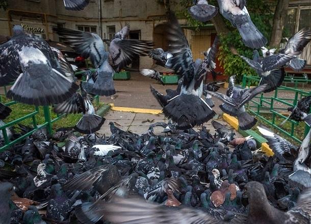 Купание голубей в коммунальном «джакузи» попало на видео в Волгограде