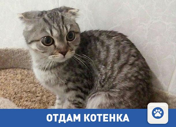 Отдается в добрые руки вислоухий котенок
