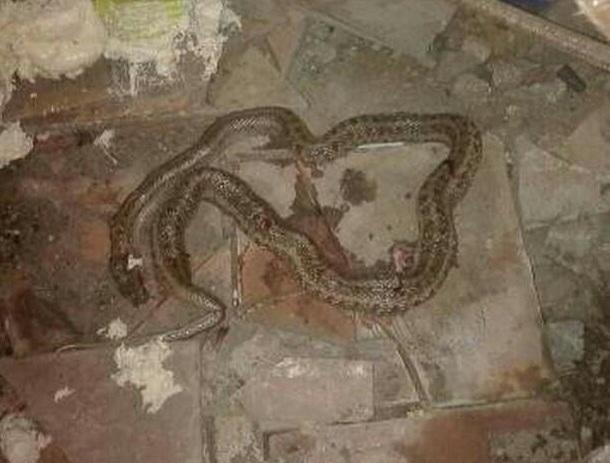 Испуганные волгоградцы жестоко убили заползшую в дом безобидную змею