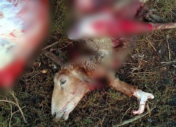 Стая волков напала на хутор в Волгоградской области