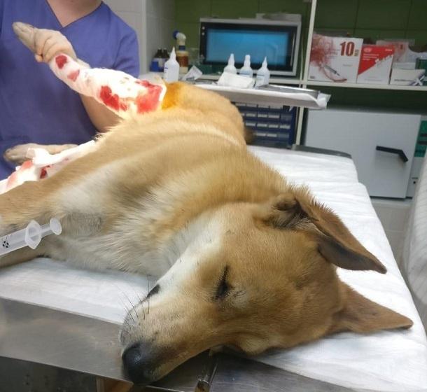 В Волгограде умирающий пёс с раздробленной лапой приполз к людям, моля о помощи