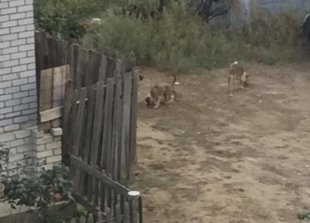 Стая собак уже 5 лет оккупирует двор жилого дома на севере Волгограда