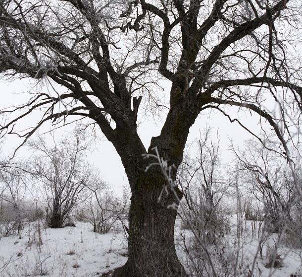 200-летний волгоградский дуб официально признан пенсионером и взят под наблюдение