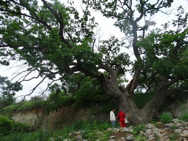 Волгоградские экологи проверили состояние здоровья 200-летнего дуба