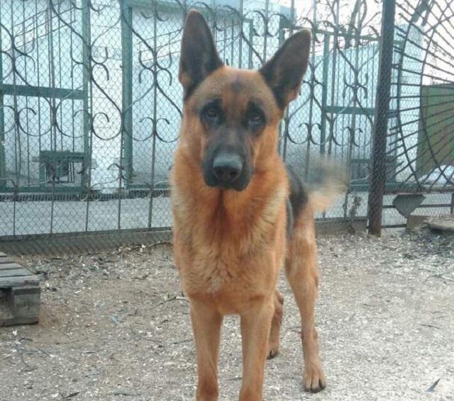 Пропавшую служебную собаку разыскивают на юге Волгограда
