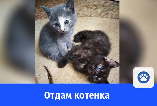 Отдается ласковая черная кошечка с голубыми глазами