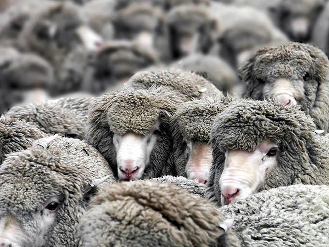 Под Волгоградом воры вывезли на КамАЗе стадо из 93 овец