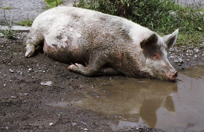 В Волгоградской области зафиксирован падеж свиней