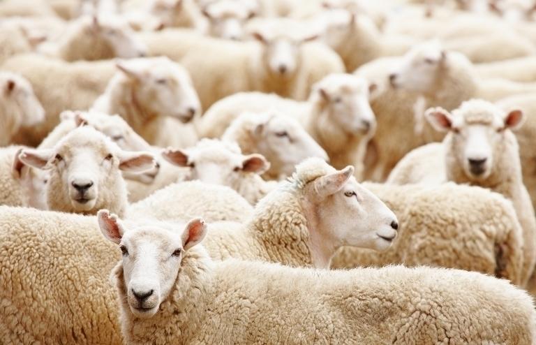 Под Волгоградом приставы отобрали 92 овцы у селянина из-за долга в 100 тысяч