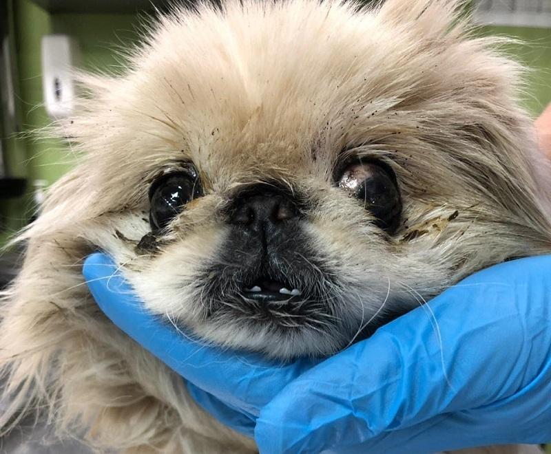 Волгоградцы выкинули на мороз слепого больного пекинеса